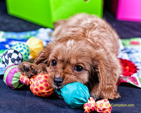 Cavalier King Charles Spaniel - Ruby - playing