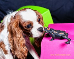 The Cavalier King Charles Spaniel playing